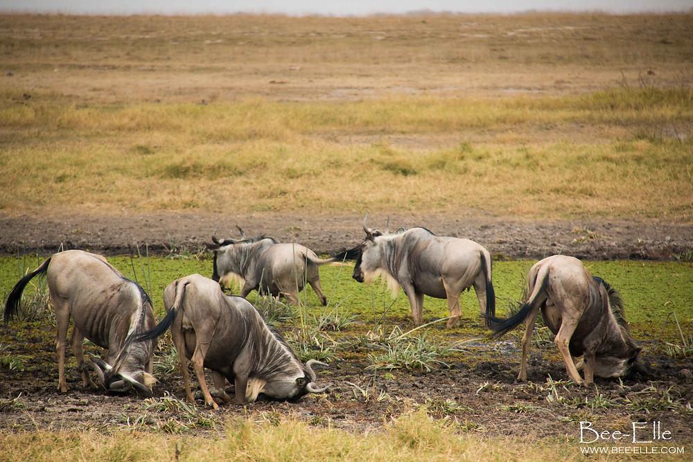 Bee-Elle - African Wildlife Photography - Wildebeest scent marking