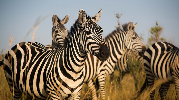 Zebra in the fading light on the plains of the Maasai Mara