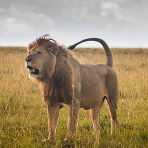 Tsavo Man-Eaters Strike Again