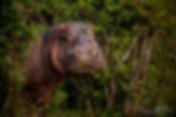 Hippos in my Hippopotamus