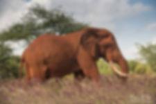 Elephant Tsavo Kenya