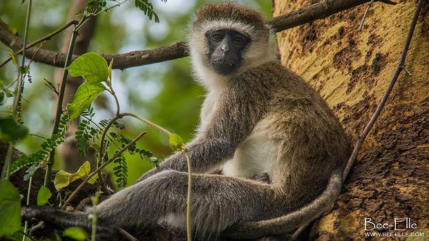 Vervet monkey at Lake Nakuru