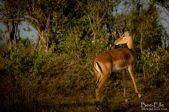 Glimmer in Her Eyes - Impala - African Wildlife Photography - Bee-Elle