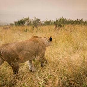 Another escaped lion: Cheru