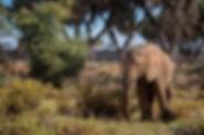 An elephant in Samburu