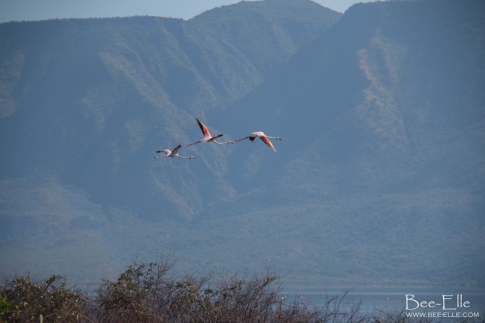 greater flamingoes fly over lake bogoria