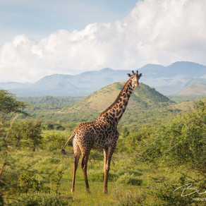 The Forgotten Ones - The Giraffe's Silent Extinction