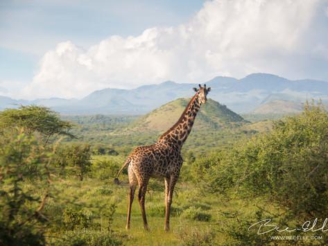 The Forgotten Ones - The Giraffe's Silent Extinction