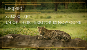Leopard 5 African animals that should be endangered - Bee-Elle - African Wildlife Photography and Conservation Advocacy