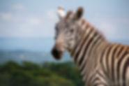 Zebra-Bee-Elle-5549.jpg