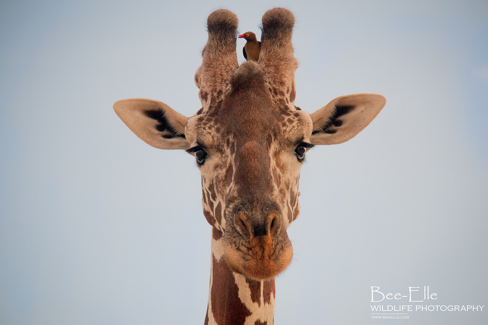 Giraffe - Bee-Elle - African Wildlife Photography