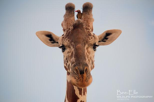 Reticulated Giraffe and Oxpecker