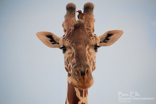 Giraffe and Friend