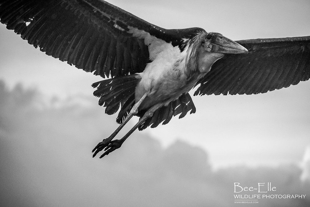 Bee-Elle - African Wildlife Photography - Marabou Stork
