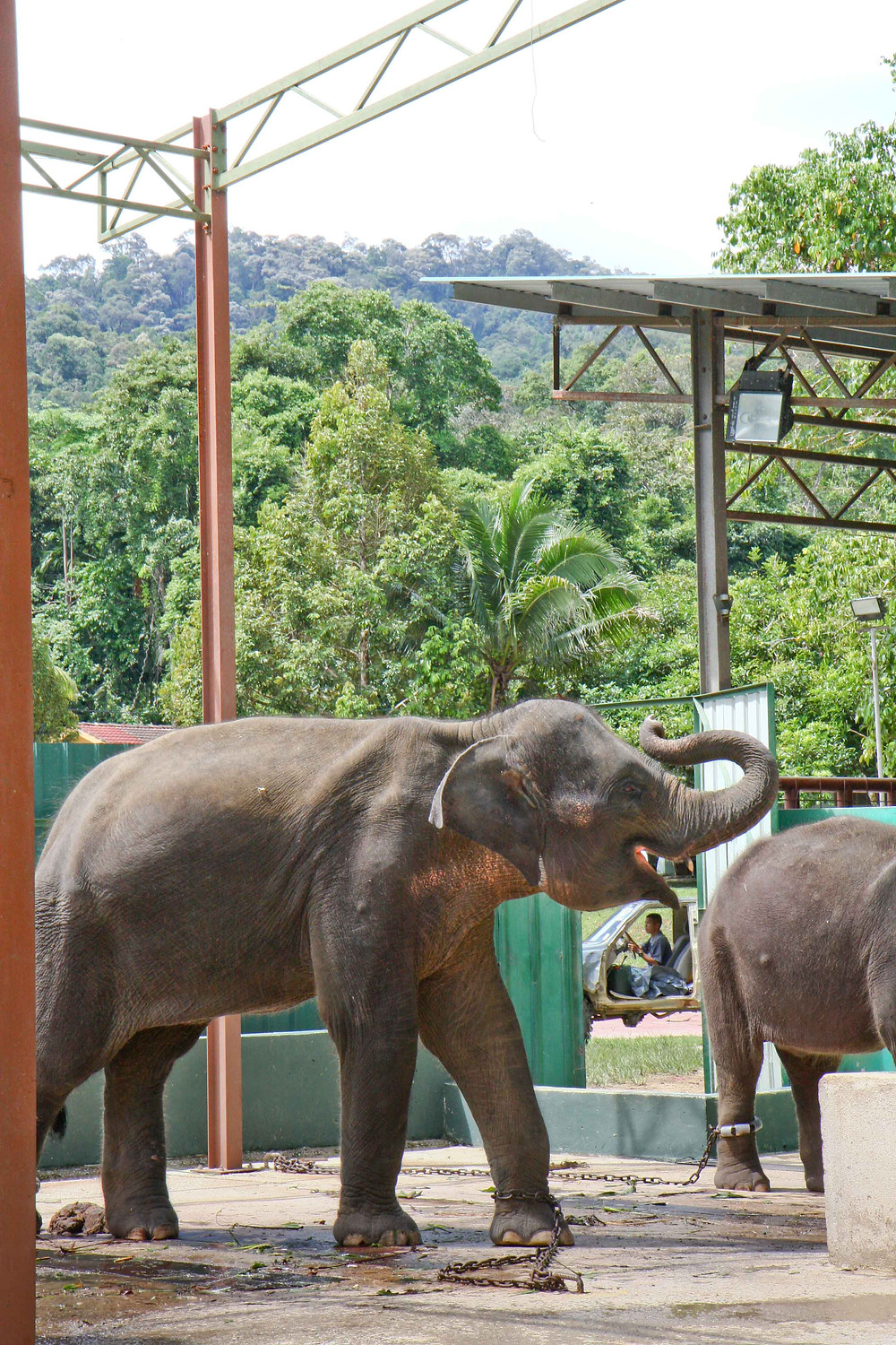 Chained Asian elephant in captivity