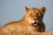 Lioness Sunset