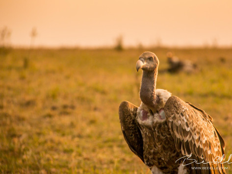 Why The World Needs Vultures