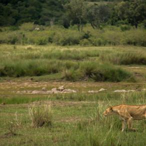 Kenya's major railway construction steams ahead, jeopardising the integrity of more habitats