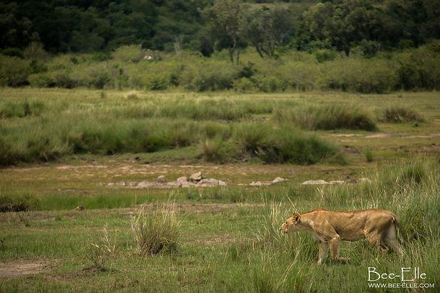 A lioness stalking her prey in the Maasai Mara, Kenya