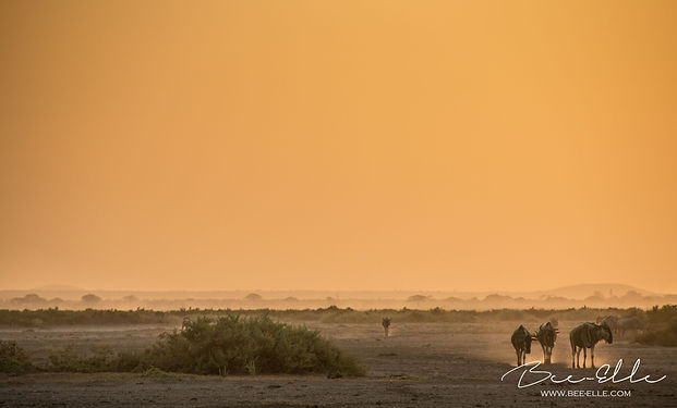 Wildebeest walk across the dry plains of Amboseli