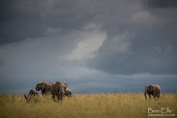 As the Storms Brew, by Bee-Elle - Elephants Amboseli
