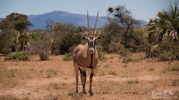East African Oryx in Samburu