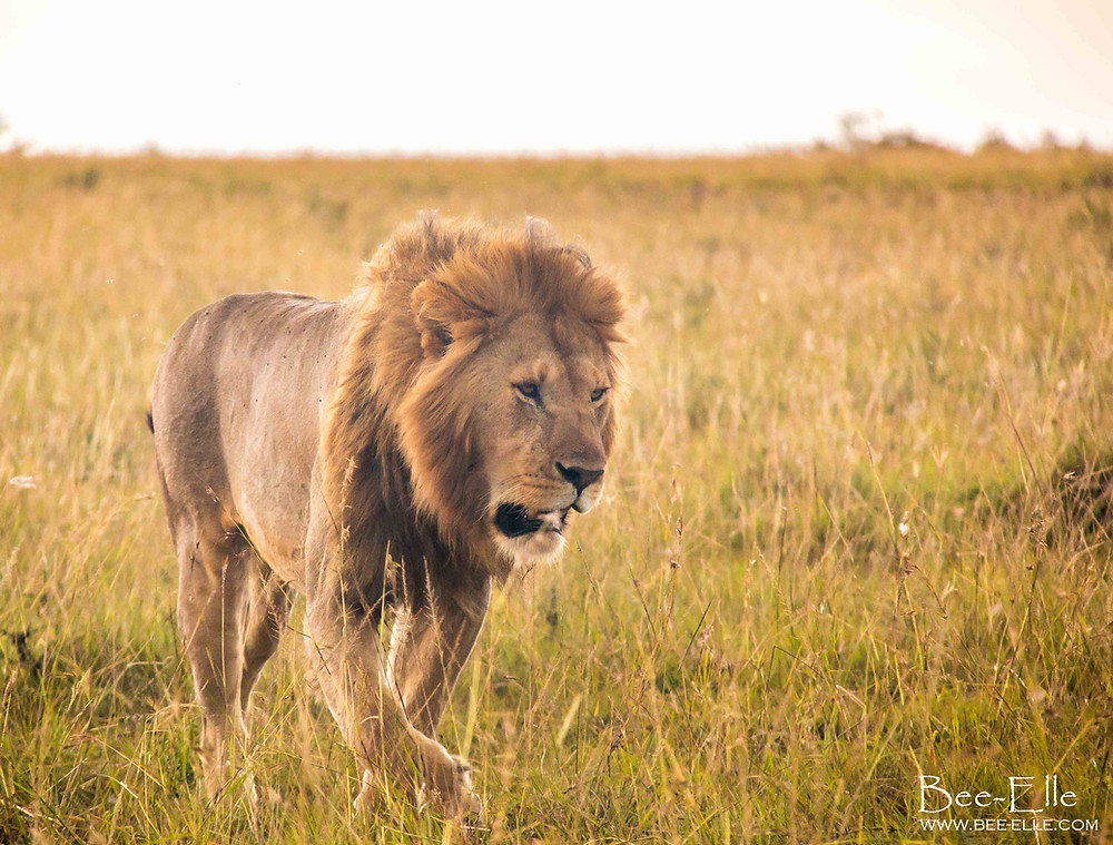 When the lion is at the bottom of the food chain - A lion walks through the plains of Amboseli -  Bee-Elle - African Wildlife Photography
