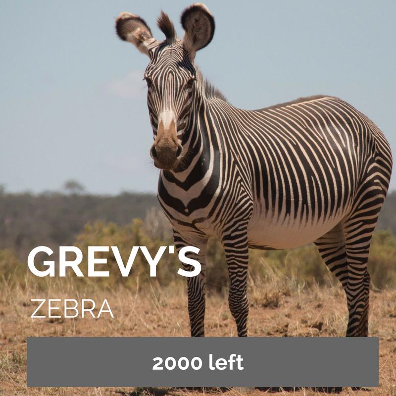 Grevy's Zebra - Bee-Elle - African Wildlife Conservation