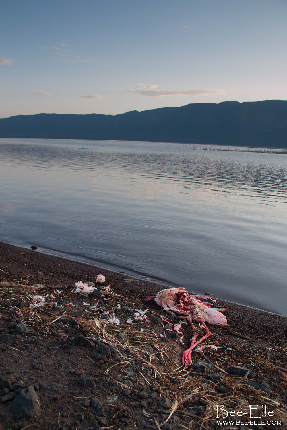 dead flamingo lake bogoria