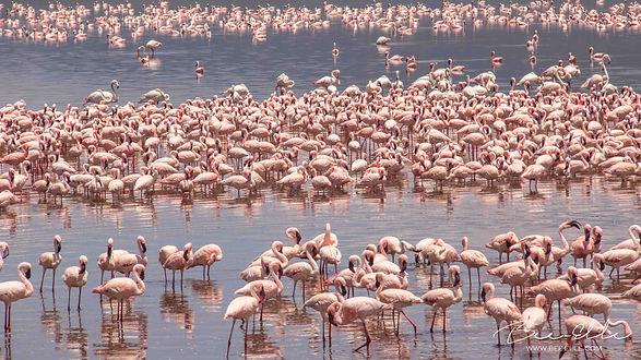Lesser Flamingoes en masse at Lake Bogoria, Kenya by Bee-Elle