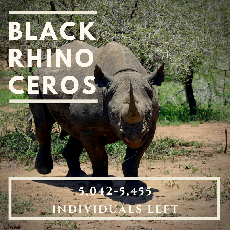 Black Rhinoceros - Bee-Elle - African Wildlife Conservation
