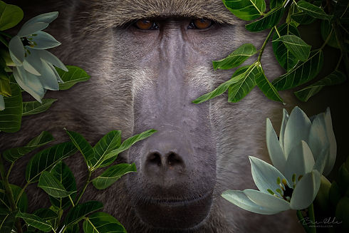 Chacma_Baboon_We_Are_Nature_Wildlife_Art.jpg