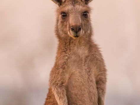 The Largest Killing of Land-Based Wildlife in the World: Australia's Kangaroo Culls