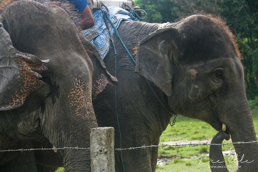 Captive Asian Elephant in Nepal