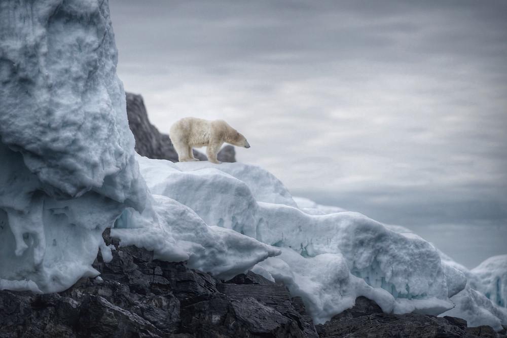 Polar Bear Arctic Circle - Russell MacLaughlin