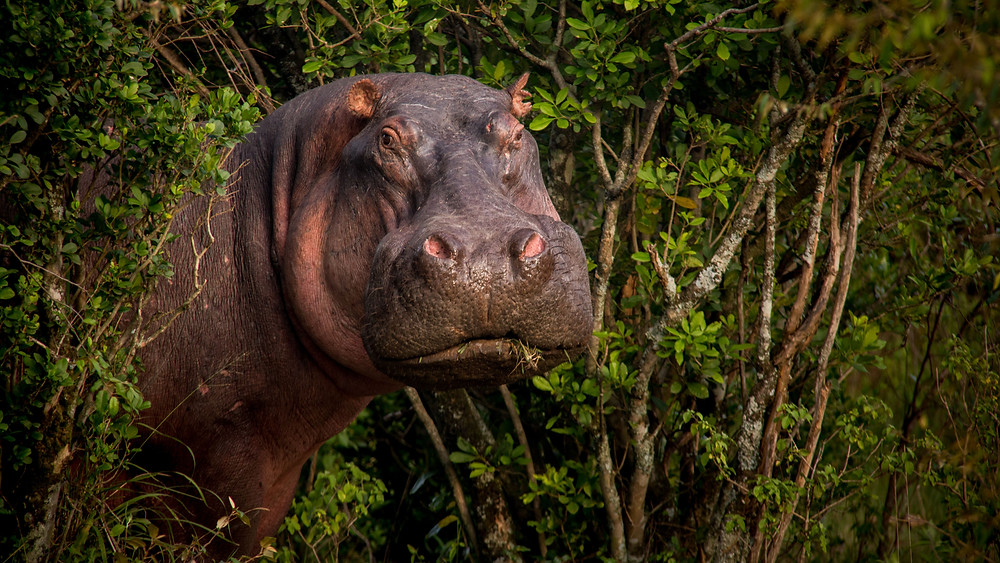 Bee-Elle - African Wildlife Photography - Hippo