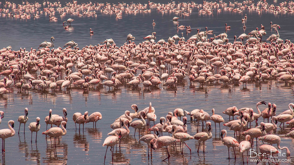 lesser flamingo en masse