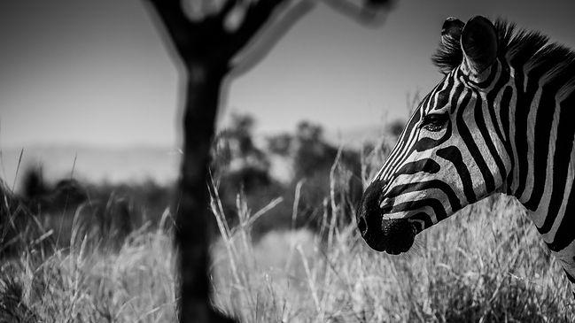 Zebra by Bee-Elle