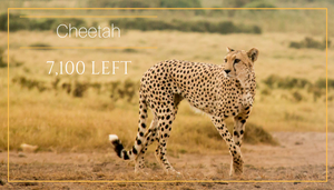 Cheetah - 5 African animals that should be endangered - Bee-Elle - African Wildlife Photography and Conservation Advocacy
