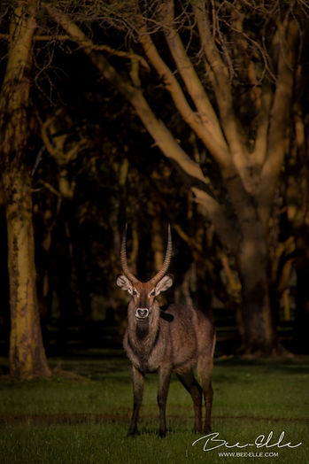 Waterbuck - Lake Naivasha