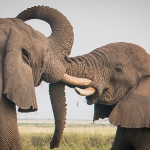 A few decades, 1 million elephants gone