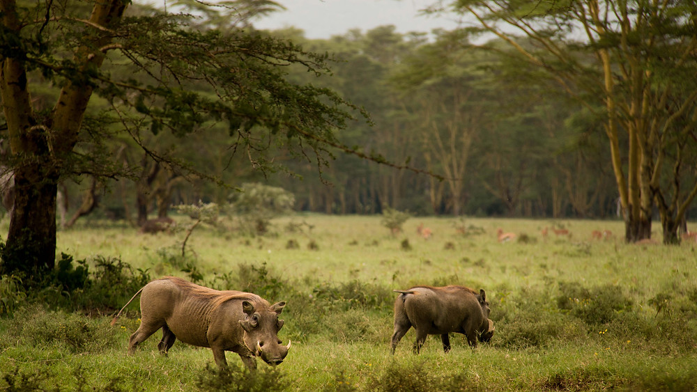 Bee-Elle - African Wildlife Photography - warthog