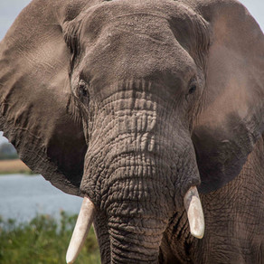 Watching African elephant numbers plummet to extinction