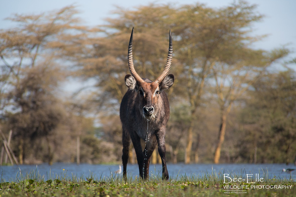 Bee-Elle - African Wildlife Photography - waterbuck