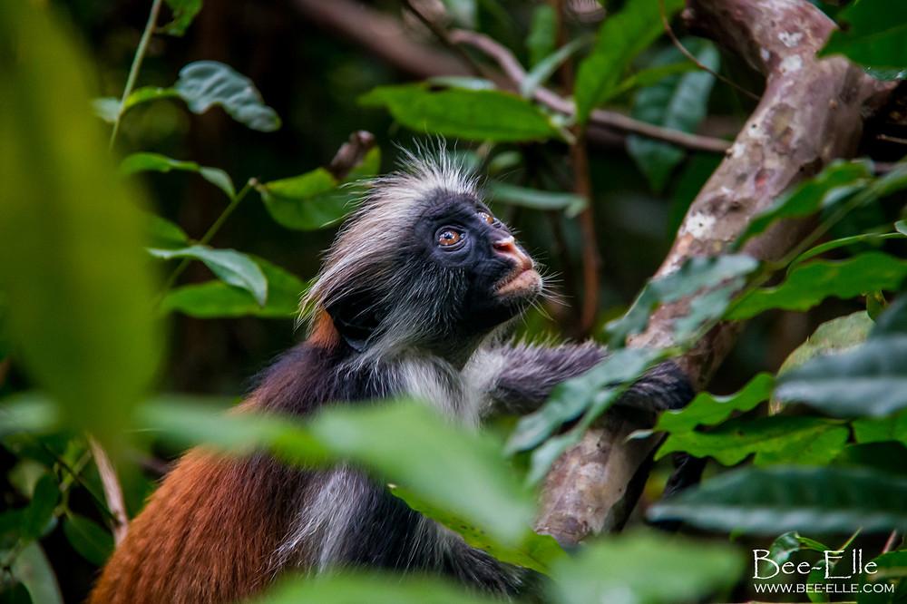 Red Colobus Monkey in Coral Rag Forest, Jozani, Zanzibar - Bee-Elle - African Wildlife Photography