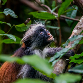 Code Red, Red Colobus
