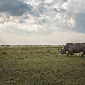 There is nothing we can do now to save the northern white rhino