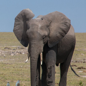 Conservation organisations support the ivory trade