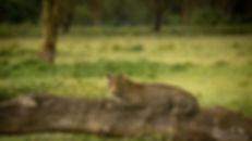 Leopard resting on a log in Lake Nakuru - African Wildlife Photography - Bee-Elle