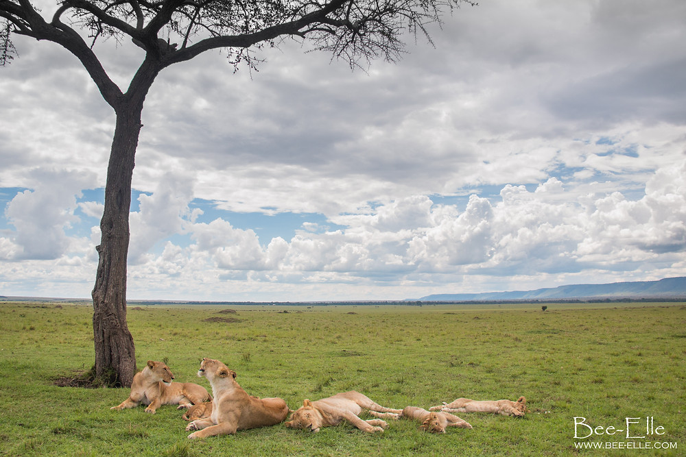 When the lion is at the bottom of the food chain - A pride of lions relax under an acacia tree at the Maasai Mara - Bee-Elle - African Wildlife Photography